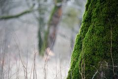 Tree with moss on roots in a green forest or moss on tree trunk. Tree bark with green moss. Azerbaijan nature. Selective focus Royalty Free Stock Photos