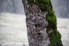 Tree with moss on roots in a green forest or moss on tree trunk. Tree bark with green moss. Azerbaijan nature. Selective focus Stock Photography