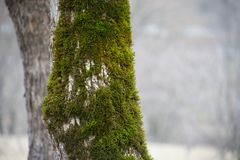 Tree with moss on roots in a green forest or moss on tree trunk. Tree bark with green moss. Azerbaijan nature. Selective focus Royalty Free Stock Image