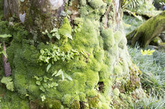 Tree moss. With selective closeup Royalty Free Stock Photo