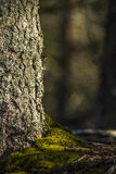 Tree and Moss. In the woods Royalty Free Stock Photography