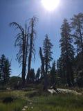 Tree, Mount Shasta Royalty Free Stock Photo