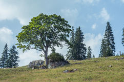 Tree on mountain Stock Images