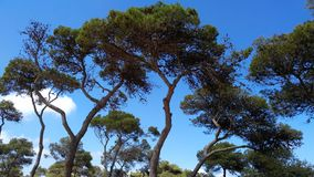 Tree in the mountain Carmel. The mountain Carmel in Israel royalty free stock photo