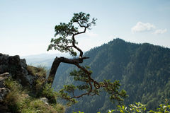 Tree on mountain edge. One bent and twisted tree on the edge of a steep mountain in Poland Royalty Free Stock Photos
