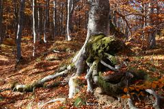 Tree. In mountain, forest in autumn Royalty Free Stock Photo