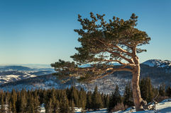 Tree in the mountain. Sunny winter mountain view with tree Stock Photography