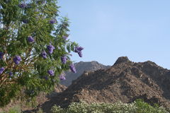 Tree and Mountains. Jacaranda tree with purple blooms and mountains in the background Stock Photo