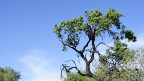 Tree moved by the wind. Branches of a tree moved by the wind stock footage
