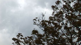 Tree Moving On A Stormy Weather.  stock video footage