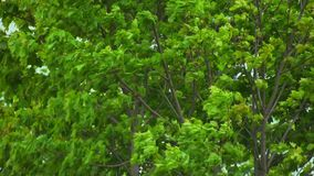 Tree moving in the wind in slow motion. stock footage
