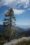 Tree on Mt Baldy Royalty Free Stock Image