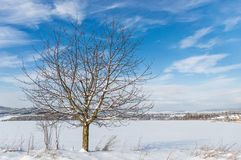 A tree with multiple leafless branches is seen standing tall in a winterland. A tree with multiple leafless branches in the midst of a wide snow covered land royalty free stock photo