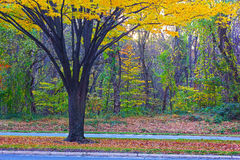 Tree with multiple trunks and yellow foliage near the road. Stock Image