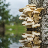 Tree mushroom Royalty Free Stock Photo