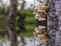 Tree mushroom. With reflection and blurred background Stock Image