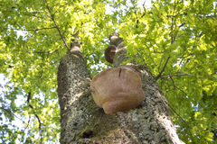 Tree mushroom up. Big tree mushroom grow on stem in forest by bright sunny day Stock Photos
