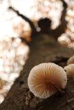 Tree mushroom Royalty Free Stock Photo