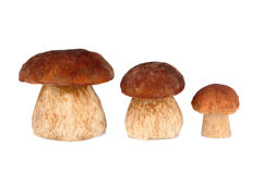 Tree mushrooms Royalty Free Stock Photo