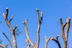 Tree Bare Branches Blue. Large Tree branches cut left bare stumps against blue sky Stock Photos