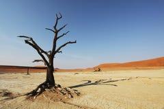 Tree in Namib desert Stock Images