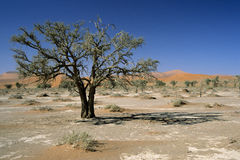 Tree in Namib Desert II Stock Photo