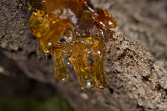 Tree natural resin Royalty Free Stock Images