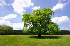Tree in nature. Green fresh tree in summer nature Royalty Free Stock Photo
