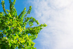 Tree and nature at blue sky Royalty Free Stock Photography