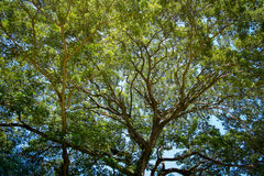 Tree. Nature green background wood sunlight forrest deciduous landscape summer  leaf park season environment foliage broadleaf branch branches spring leaves Royalty Free Stock Photo