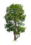 Tree nature on white background. Of Stock Images