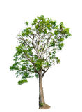 Tree nature on white background. Of Isolated Royalty Free Stock Photo
