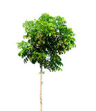 Tree nature on white background. Of Isolated Stock Photography
