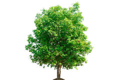 Tree nature on white background. Of Isolated Royalty Free Stock Photography