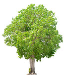 Tree nature on white background Royalty Free Stock Image