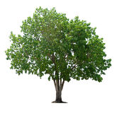 Tree nature on white background Royalty Free Stock Photography