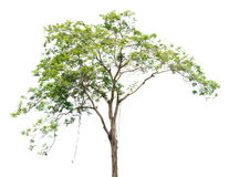 Tree nature on white background Royalty Free Stock Photo