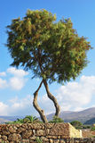 A tree near the beach. Two connected trees situated near the beach on the island of Crete, Greece Royalty Free Stock Image