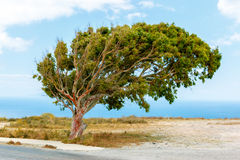 Tree near the sea, blown away by the wind Stock Photos