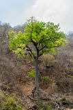 Tree near Somoto canyon, Nicarag. Ua royalty free stock photo