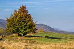 Tree near valley in mountains  on hillside under sky with clouds. Mountain autumn landscape. tree near meadow and forest on hillside under  sky with clouds Stock Photo