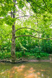 Tree near water stream in green forest Royalty Free Stock Image