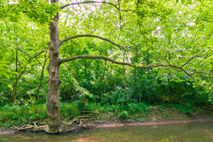 Tree near water stream in green forest. Royalty Free Stock Images