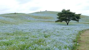 Tree and Nemophila at Hitachi Seaside Park in spring with blue sky at Ibaraki, Japan. The Tree and Nemophila at Hitachi Seaside Park in spring with blue sky at stock footage