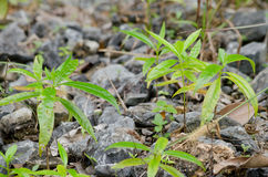 Tree is new generation. Seed is growth on the limeston in moutain Stock Images