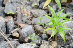 Tree is new generation. Seed is growth on the limeston in moutain Royalty Free Stock Image
