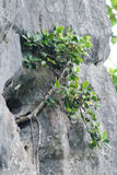 Tree is new generation. Seed is growth on the limeston in moutain Stock Photos