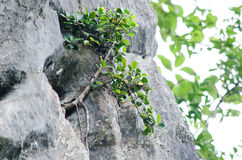 Tree is new generation. Seed is growth on the limeston in moutain Royalty Free Stock Photo