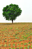 Tree with new leaf growth in pineapple field Stock Photos