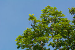 Tree with new leaves. royalty free stock photography